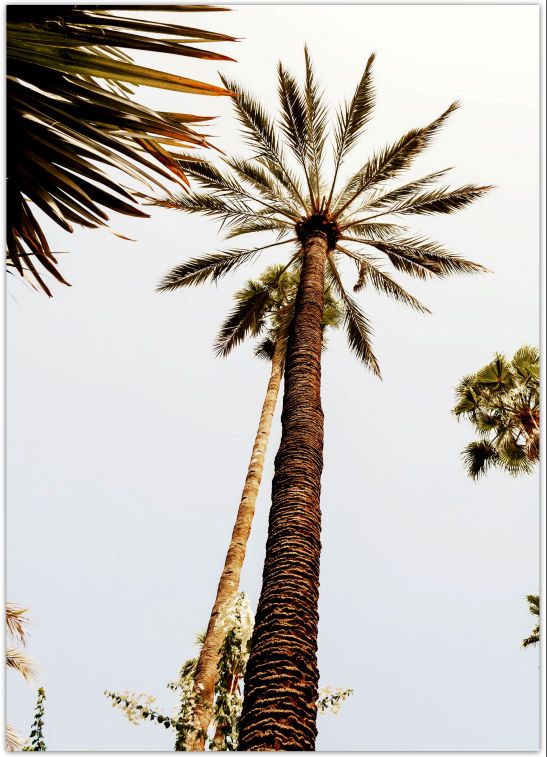 Poster Palm Tree Marrakesh