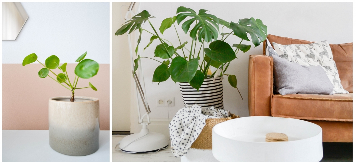 Pilea Monstera Deliciosa